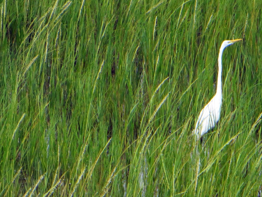 Egret in Saltwater Marsh Grass, Brigantine Beach, New Jersey, USA