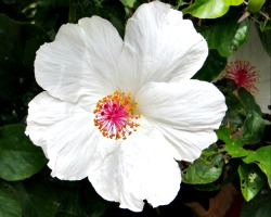White hibiscus, Botanical Garden, Bishop Museum