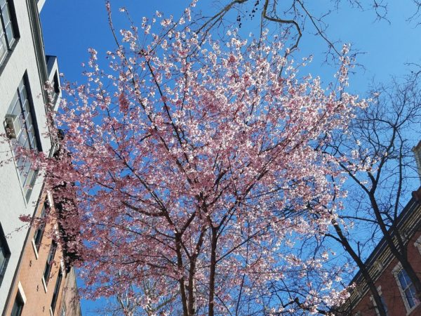 Spring flowering tree on Delancey Place, Philadelphia